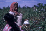 Egypt, children picking cotton near Cairo