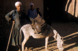 Egypt, donkey carrying a water bag