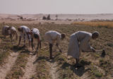 Egypt, farmers working in the fields