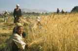 Egypt, harvesting wheat