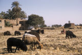 Egypt, girl tending sheep and goats in the field