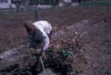 Egypt, man clearing cotton plant branches near Cairo