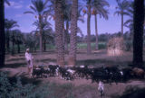 Egypt, man herding a group of goats near Cairo