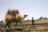 Egypt, man walking a camel packed with wheat