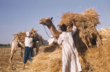 Egypt, men with their camels packed with wheat