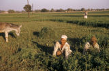 Egypt, men working in the fields