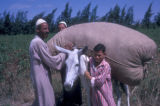 Egypt, people hoisting a bag of cotton onto a donkey near Cairo