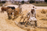 Egypt, threshing wheat