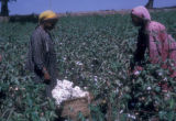 Egypt, women picking cotton near Cairo