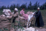 Egypt, workers bagging harvested cotton near Cairo