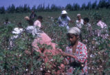 Egypt, workers picking cotton near Cairo