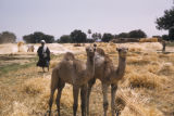 Egypt, young camels