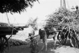 Egypt, man loading cart with donkey eating from feed bag