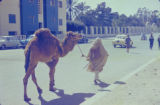 Libya, man leading camel through modern city street in Tripoli