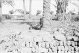 Egypt, view of home made bricks at base of palm tree