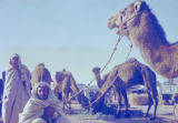 Libya, seated man holding camels by rope in Tripoli