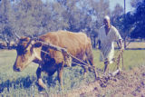 Libya, man using cow to plow field in Tājūrā'