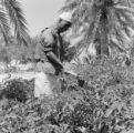 Libya, farmer working crop with hand tool in Az-Zāwiyah