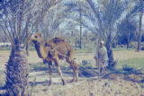Libya, man using camel to plow field in Tājūrā'