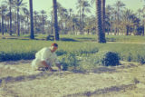 Libya, man cutting clover to feed animals at oasis in Tājūrā'
