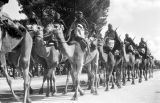 Morocco, camel troops in royal review of troops in Fez