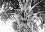 Nigeria, view of African oil palm tree and fruit