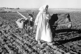 Morocco, farmer pulling mules through croplands near Middle Atlas mountains