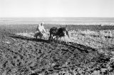 Morocco, farmer using mules to pull plow in field near Middle Atlas mountains