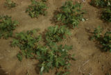Senegal, peanut plants
