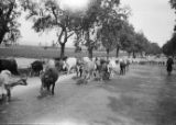 Algeria, cattle being herded through Oran street