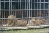 Ethiopia, lions at Addis Ababa Lion Park Zoo