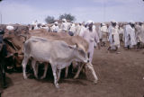 Sudan, people and cows at cattle market