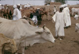 Sudan, cattle market in Umm Durmān