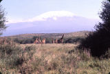 Tanzania, giraffes with Mount Kilimanjaro in background