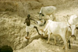 Nigeria, Fula boy watering cattle