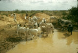 Nigeria, Fula cattle herders at watering hole