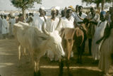 Africa, Fula tribesmen with cattle