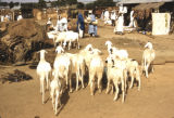 Africa, goats for sale at market