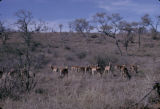 Zambia, impalas grazing in plain at Kafue National Park