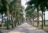 Democratic Republic of the Congo, avenue lined with palm trees