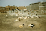 Nigeria, goats resting outside adobe houses