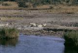 Uganda, crocodile at edge of Nile River