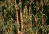 Democratic Republic of the Congo, bamboo plants