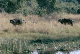 Uganda, wild buffalo at Nile River
