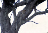 Africa, leopard laying along branch in tree