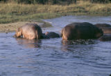 Uganda, hippos wading in Nile River