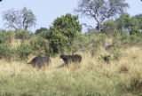 Uganda, wild buffalo in grassy plain