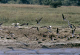 Uganda, flock of birds along Nile River