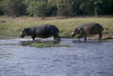 Uganda, view of hippos at Nile River