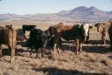 Botswana, cattle grazing in field with mountains in distance